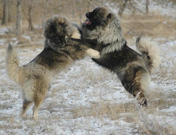 اقوى انواع الكلاب ( القوقازى قاتل الذئاب)  2-15-06%20658